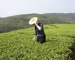 Чем и почему полезен белый чай