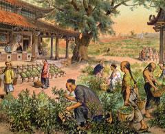 Как получают китайский красный чай