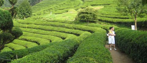 Лечебные свойства зеленого чая