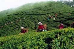 Дарджилинг – настоящий индийский чай