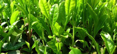 Свойства зеленого чая и давление