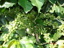 Зеленый кофе. Полезные свойства.