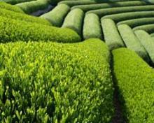 Красный чай и его полезные свойства