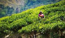 Индийские зеленые и черные чаи