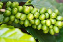 Помогает ли похудеть зеленый кофе