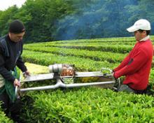 Качества Краснодарского чая аналогичны индийским высокогорным сортам